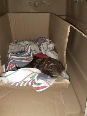Un águila mora fue intervenida y permanece en observación